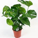 Monstera deliciosa | Faux Philodendron | Plante d'intérieur tropicale | Hauteur 75-85cm | Pot Ø 21cm