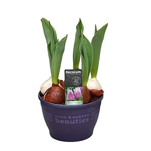 Bulbo de Tulipán de Colores Surtidos Planta Natural para Terraza o Jardín Tulipanes