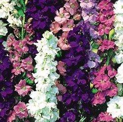 Premier Seeds Direct LAR01F Larkspur 'Giant Imperial' Miscela di semi (confezione da 600)
