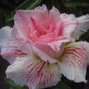 4 Mixed Color Adenium Obesum Bonsai Desert Rose Flower Seeds