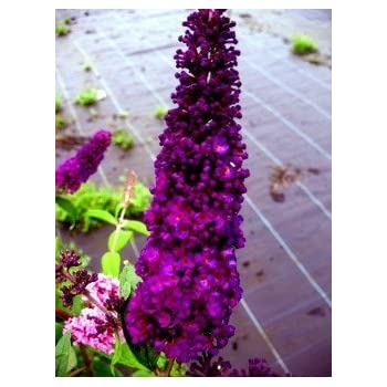 Schmetterlingsstrauch Buddleja Black Knight 60 cm im 3 Liter Pflanzcontaier