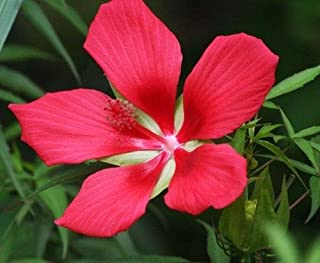 Red Texas Star Swamp Hibiscus Seed - Rose Mallow Perennial Seeds (¼gr to 10gr)