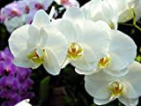 Kisshes Seedhouse - 100pcs Graine de Phalaenopsis Fleurs Graines, couleur riche, arôme épanoui, faciles à cultiver vivaces ornementales Bonsai Jardin Extérieur plante graines fleurs (blanc)