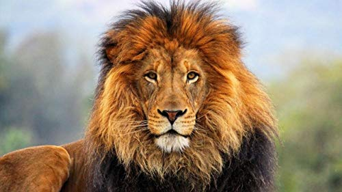 ZHONGYIDERUN Gesicht Augen Löwe Fell MähnemalenNachZahlendiy Und Canvas Ölgemälde Für Erwachsene Und Kinder Ungiftige Farben Hohe Qualität Und Langlebig Für Anfänger 16 * 20 Zoll
