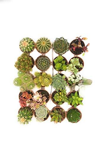 Italy Green Life 12 Piante Grasse Mix Succulenti e Cactacee Vaso Diametro 5.5cm Piante Grasse Vere Set di Produzione  Piantine Da Interno, Ufficio, Bomboniere, Scrivania 12 Piante Vere da Interni