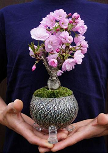 Rare Japanese Sakura Cherry Blossom for Garden Flower Bonsai Tree Indoor Flowers Plants Easy Grow 50 pcs Flower Pots Planters - (Color: 20pcs Sakura)