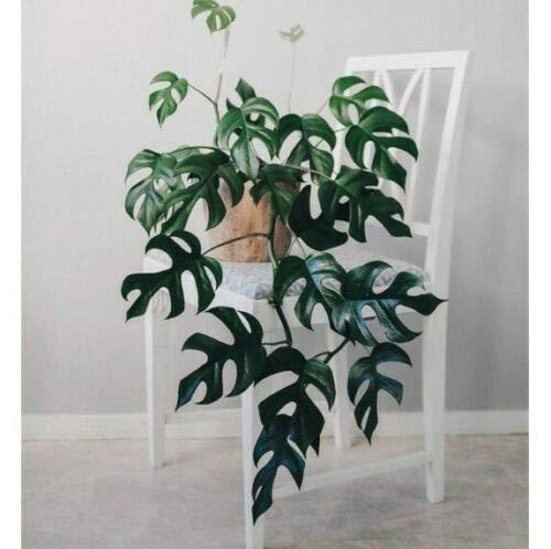 Monstera Split Leaf Philodendron, Rhaphidophora Tetrasperma, Shown in...