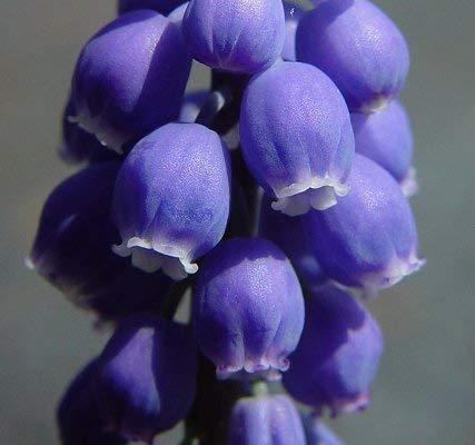 LIVE GREEN MUSKARI Purple Grape Hyacinth Flower Bulb - Pack of 5 Bulbs