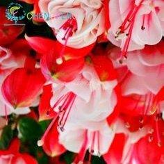 Fuchsia Hybrida Hort Graines Livraison gratuite japonaise Belle Bonsai Lanterne Fleurs pour Garden Home Blooming Plantes