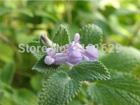 (Mélanger l'ordre minimum 5 $) 1 original Pack 40 pcs parfum menthe Graines de fleurs