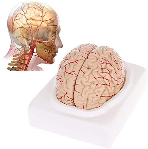 GDEVNSL Modelo anatômico do cérebro humano desmontado, 8 peças cerebrovascular, modelo educativo de ensino de ciências