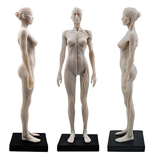 Aprodite Kunstharz weiblicher Körper Muskel-Skelett Anatomisches Modell CG Gemälde Skulptur 1:6 weiß 30 cm