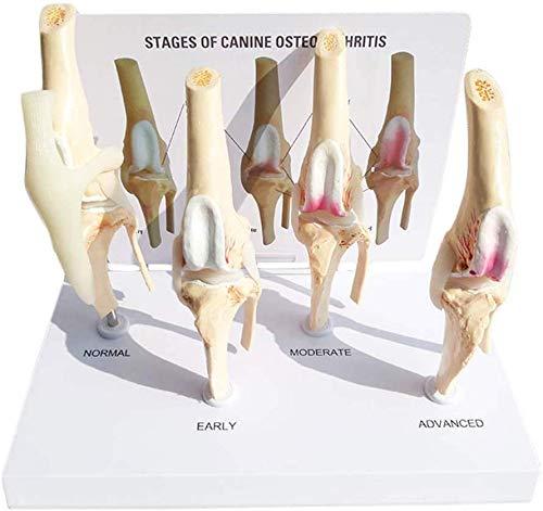 BBYT Vierstufig Hunde Hund Modell Vierstufig Knie-Arthritis Gesundheit Knie und Hundeläsion Gelenk Eckzahn Osteoporose Modell Tier Unterrichten Modell