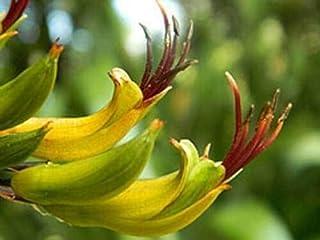 Fresh Seeds -Phormium colensoi|New Zealand Mountain Flax| 20_Seeds