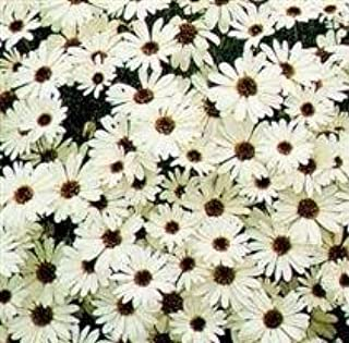 Las Semillas del Paquete: Brachycome - Splendor - Seed