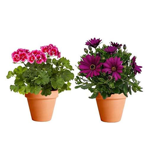 Pack de Plantas para Terraza: Geranio + Margarita Dimorfoteca con Maceta de Cerámica Plantas con Flor