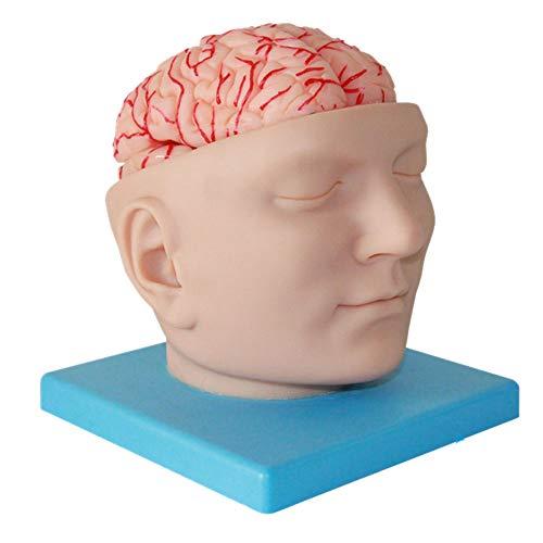 N \ A Anatomisches Modell des Menschlichen Gehirns, Abnehmbares 9-teiliges Gehirnmodell Mit Digitalem Logo, Verwendet Im Lehrmodell Für Studien Zur Anzeige Im Naturwissenschaftlichen Klassenzimmer