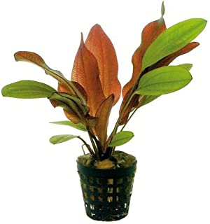 Potted Red Flame Sword - Beginner Tropical Live Aquarium Plant