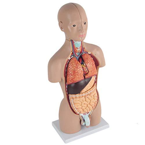 LXT PANDA 12 Parti Torso Umano Senza Sesso, Istruzione della Scuola primaria e secondaria di 50 cm Modello di Torso Modello di Anatomia Umana Struttura dell'organo Modello con organi Rimovibili.