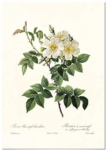 Panorama Póster Rosa Blanca Vintage 50x70cm - Impreso en Papel 250gr - Láminas Hojas Verdes - Láminas para Enmarcar - Cuadros Decoración Salón - Cuadros Botánica - Cuadros de Plantas