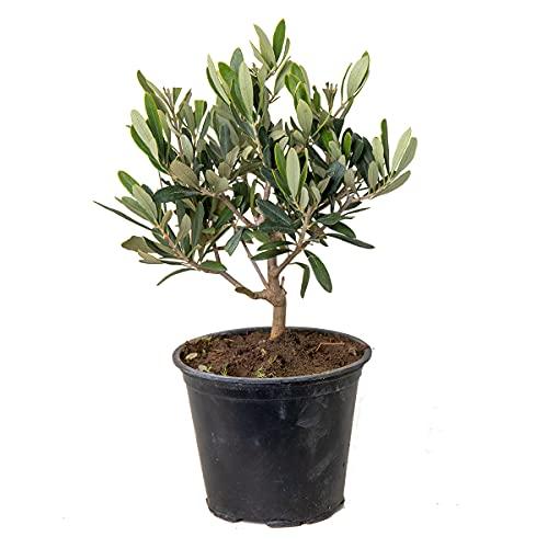 Olivenbaum | Olea Europaea - Freilandpflanze im Anzuchttopf ⌀14 cm - ↕30-40 cm