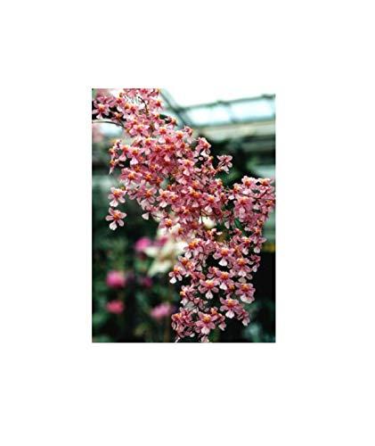 Stk - 1x Oncidium ornithorhynchum Jungpflanze Duft Orchidee Pflanze OW153 - Seeds Plants Shop Samenbank Pfullingen Patrik Ipsa