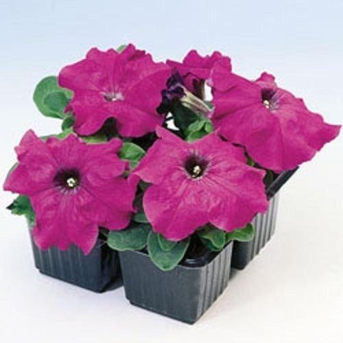 Pétunia limbes F1 Violet 40 graines granulées
