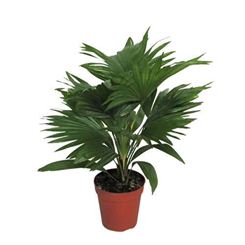 Livistona rotundifolia | Fächerpalme | Luftreinigende Zimmerpflanzen | Zimmerpalme klein | Höhe 35-40 cm | Topf-Ø 12 cm