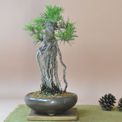 盆栽妙 根上りの黒松盆栽 樹高25cm×幅15cm