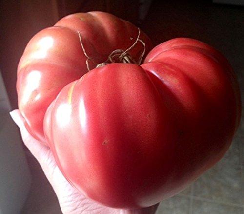 Semillas de tomate rosa gigante Kogot Medvedya - garra de oso de la herencia estadounidense Variety