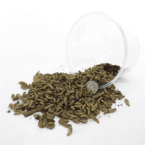 Symton Large Feeding Grade Black Soldier Fly Larvae