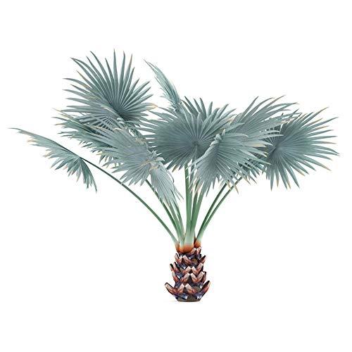 Bismarckia nobilis 'Silver' - Bismarck Palme- 6 Samen -