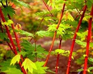 PACIFIC FIRE OREGON VINE MAPLE - A CORAL BARK SELECTION OF OUR NATIVE VINE MAPLE - 1 - YEAR PLANT