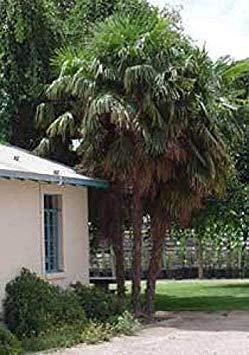 Potseed Washingtonia Filifera California Fan Palm 10 Samen