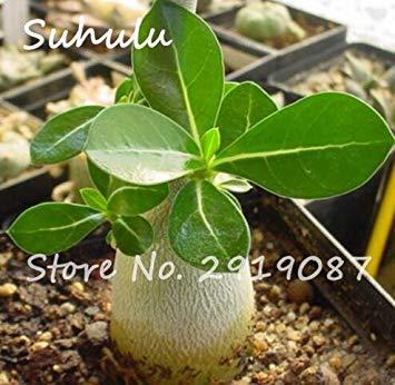 Vistaric 100% ture Rare Pétales de fleurs roses Graines 2 Pcs belle rose du désert graines d'intérieur plantes en pot ight up votre jardin facile grandir 3