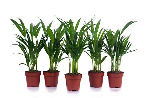 Mexikanische Bergpalme 5 Stück A1 Qualität MPS kontrolliert Unsere Pflanzen sind bereits für Sie vorgedüngt