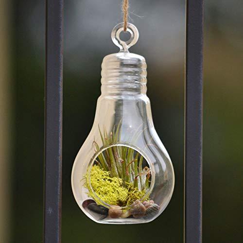 PLAT FIRM GERMINATIONSAMEN: 6 & # 034; : Klare Birnen Hängende Glasterrarium Kerzenhalter Airplant Garten