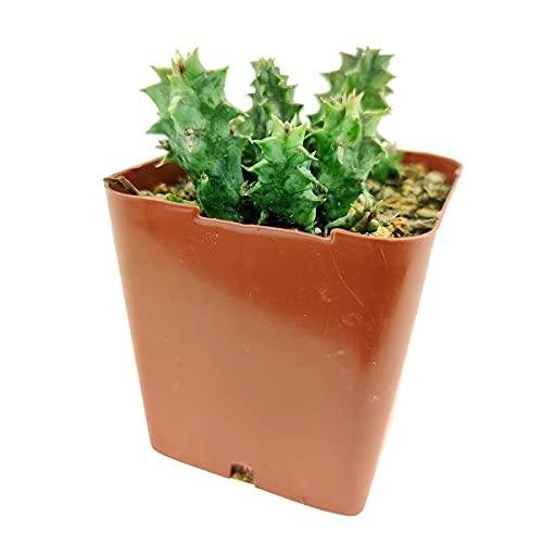 Orbea Variegata Succulent - Stapelia Variegata Plant - Starfish Cactus (2 inch)