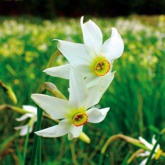 Keptei 100 Stück Narzisse Samen Duftend Blumensamen Saatgut für Barkon, Garten winterhart
