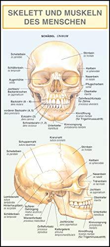 Leporello: Skelett und Muskeln des Menschen - Alle Begriffe im Überblick: Mit Illustrationen anschaulich und verständlich dargestellt
