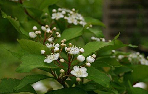 Glanzmispel Photinia villosa Pflanze 70-80cm Scharlach-Glanzblattmispel Rarität