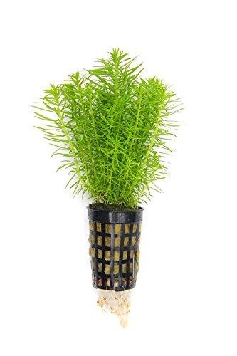 Dekoimtrend Pogostemon erectus Indische Sternpflanze 1 Topf Ø 5cm Wasserpflanze Aquarium Aquariumpflanze