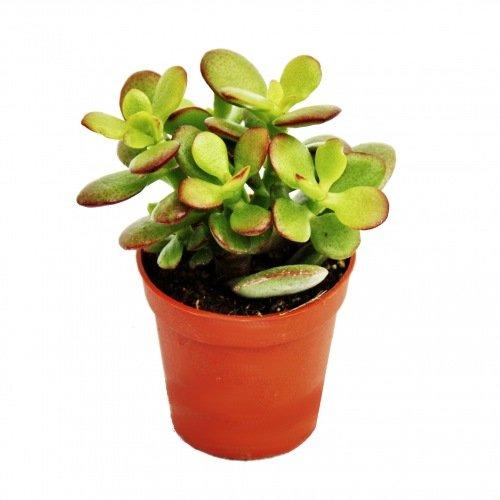Crassula portulacea minor - Pfennigbaum - im 5,5cm Topf