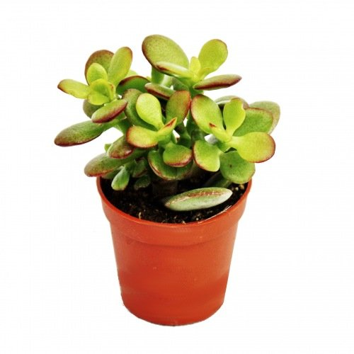 Exotenherz - Crassula portulacea minor - Pfennigbaum - im 5,5cm Topf
