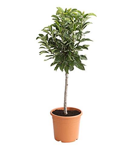 Dehner Zwergbirne Luisa, saftige Früchte, ca. 80-90 cm, Obstbaum