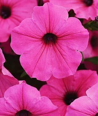 graines roses de pétunia graines de fleurs sac couleur fée des fleurs