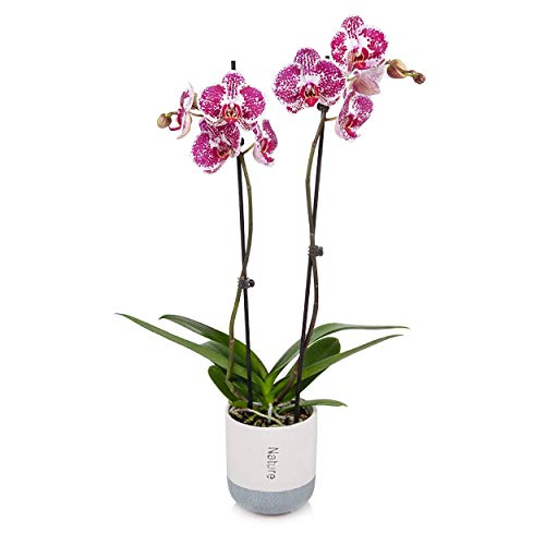 "Just Add Ice Orchid Easy Care Live Plants, 5"" Diameter, Purple and White"