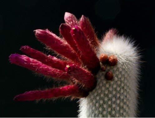 Frische Silber Fackel-Kaktus 5 Samen Cleistocactus strausii Hardy bis 14 ° F