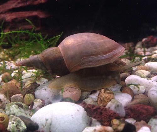 Teichschnecken : Lymnaea stagnalis Spitzschlammschnecke - Algen Futterkultur 3 Tiere