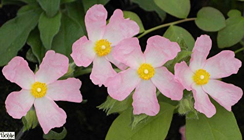 Winterharte Zistrose Grayswood Pink - Cistus Grayswood Pink